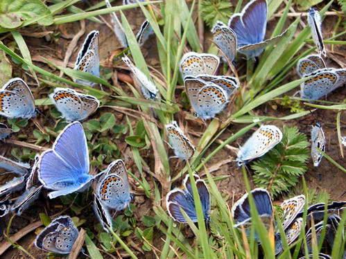 עוד אחת מההפתעות שזימן לנו הטבע, התקבצות של פרפר כחול נפוץ