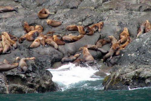 אריות ים בסוארד