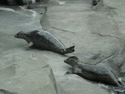 כלבי ים באקווריום של סוארד