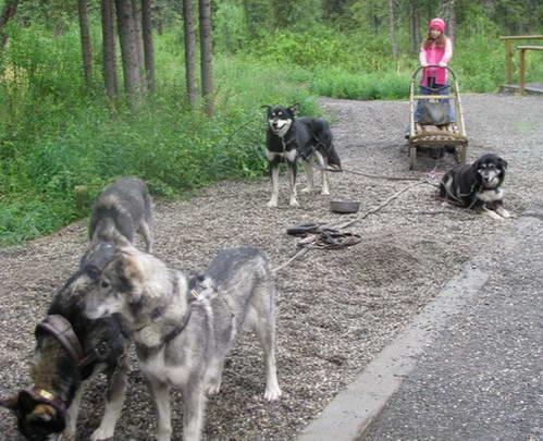 כלבי מזחלות, אלסקה
