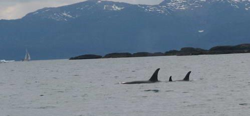 שלושה לווייתני אורקה שוחים במפרץ הנסיך ויליאם