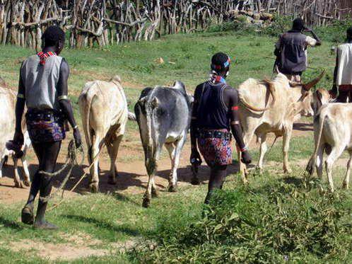 עדרי הבקר של שבט בנה