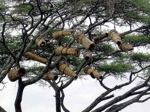 כוורות דבש העשויות עץ חלול אותן תולות נשות שבט מורסי על העצים