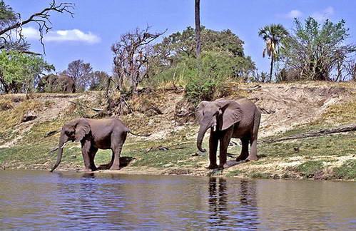 פילים על נהר האוקוונגו