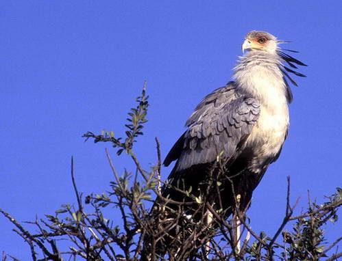 ציפור הלבלר - סקרטרי ברד