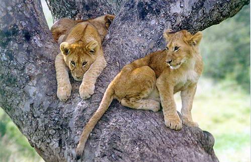 גורי אריות, קניה