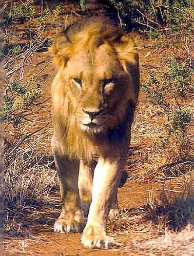 אריות בקניה