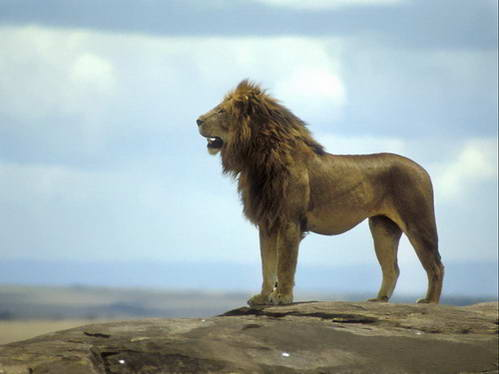 מלך החיות צופה על מרחבי קניה העצומים