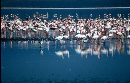 אגם נאקורו, הפס נפרד לרבבות נקודות בודדות של פלמינגו ורודי נוצות