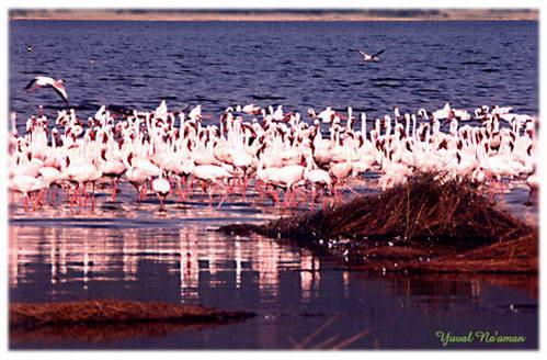 אגם נאקורו, סביבתו רוחשת פעילות ענפה של ציפורי מים