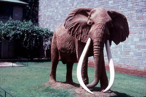 הפיל אחמד בעל החתים הארוכים, מוזיאון הטבע בניירובי