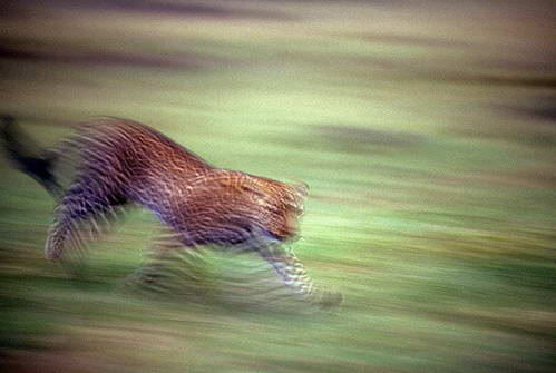 ריצת הנמר