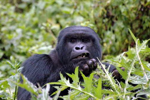 פארק דה-וולקנס, בתוך סבך הצמחייה חיים להם הגורילות, רואנדה