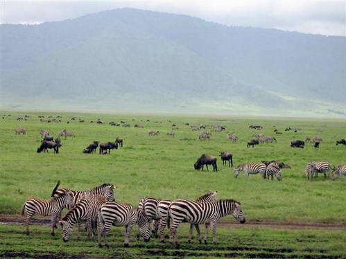 זברה מצויה וגנו רועים במישור של נגורונגורו