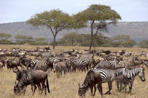 זברות וגנו, טיול לטנזניה, שמורת סרנגטי