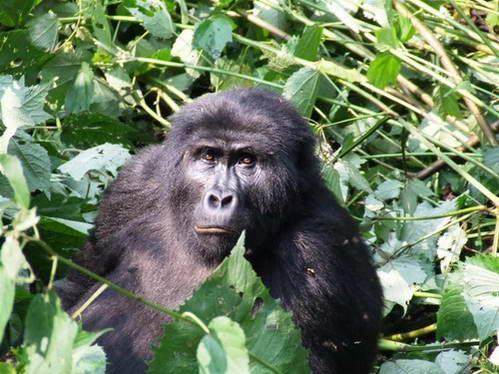 גולת הכותרת של טיול באוגנדה, ביקור מרגש ובלתי נשכח אצל גורילות ההרים