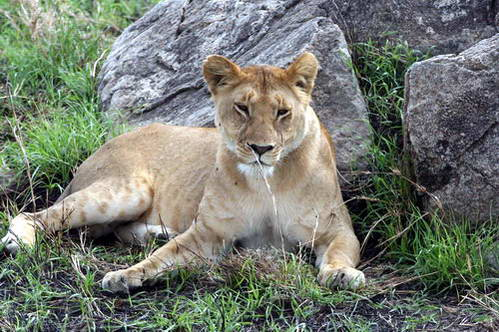 לביאה בשמורות דרום טנזניה