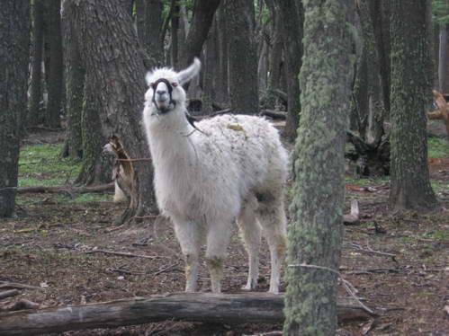למה, חיות, פטגוניה, ארגנטינה