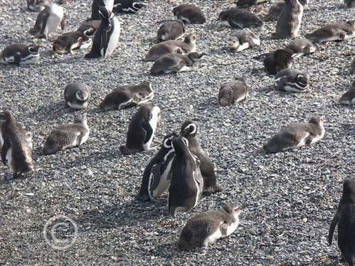 פינגוונים, אי הפינגוונים, Gable Island, ארגנטינה