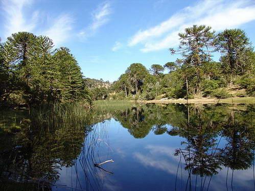 עצי אורן האראוקריה, פטגוניה, ארגנטינה