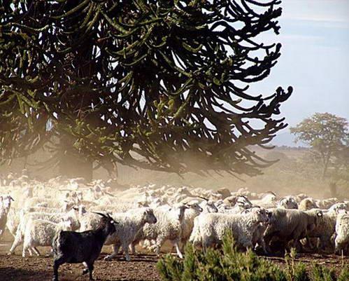 כבשים, נופי פטגוניה, ארגנטינה