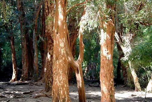 עצי ארז'ן, ברילוצ'ה, ארגנטינה