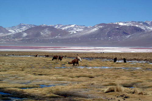 עדר אלפקות על רקע הלגונה האדומה במדבר הסלאר, בוליביה