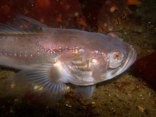 דג מוזר באפילה של מימי קולומביה הבריטית