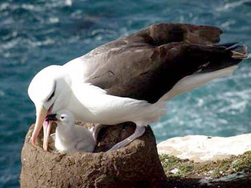 אלבטוס שחור גבה, איי פוקלנד