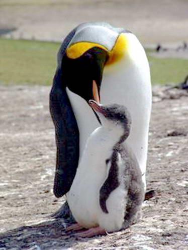 פינגווין מלכותי, איי פוקלנד