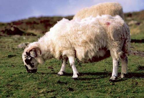 כבשים איריות