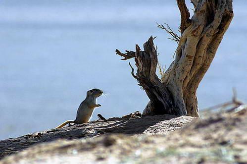 עכבר – ממכרסמי מונגוליה