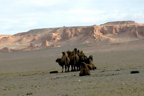 גמלים למרגלות הצוקים הבוערים של באיאנזאג