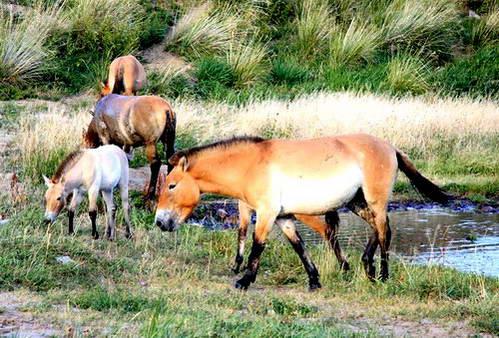 סוסי הטחאי הנמוכים והמוצקים - חית בר בשימור
