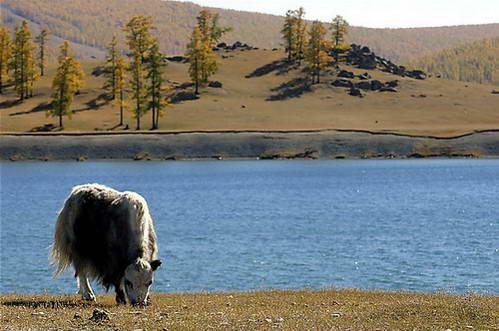 יאק רועה בגדת אגם חובסגול
