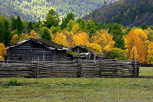 אורן סיבירי שלקראת הסתיו משנה גונו לצהוב זהוב