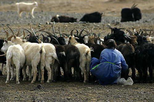 העדר המספק כל צרכי המשפחה המונגולית