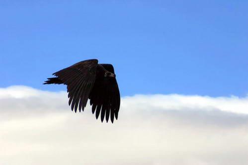 עוזניה שחורה בשמי מונגוליה הכחולים