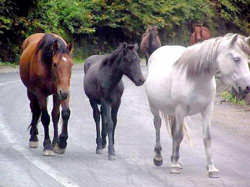 זהירות סוסים באמצע הכביש!