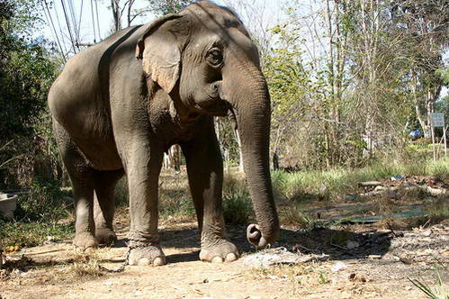 פיל אסייתי בצפון תאילנד