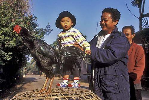 תרנגולי קרב תאילנד