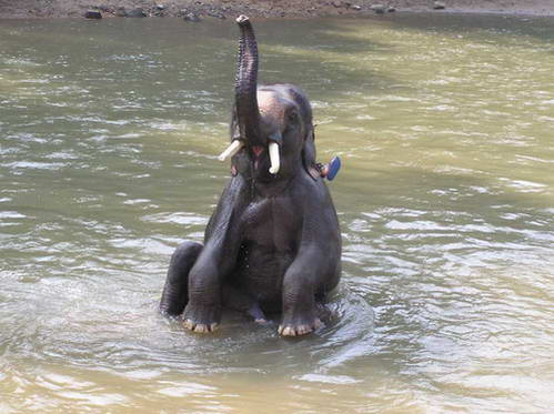 רחצת פיל בנהר