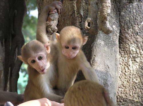 קופים בתאילנד