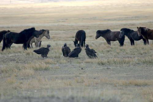 עוזניות שחורות מנקות שרידי טרף זאבים