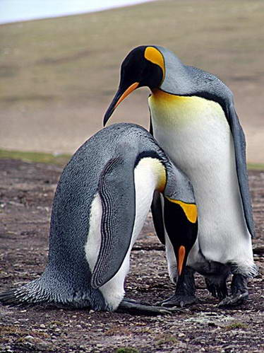 פינגווין מלכותי, האי סונדרס, איי פוקלנד