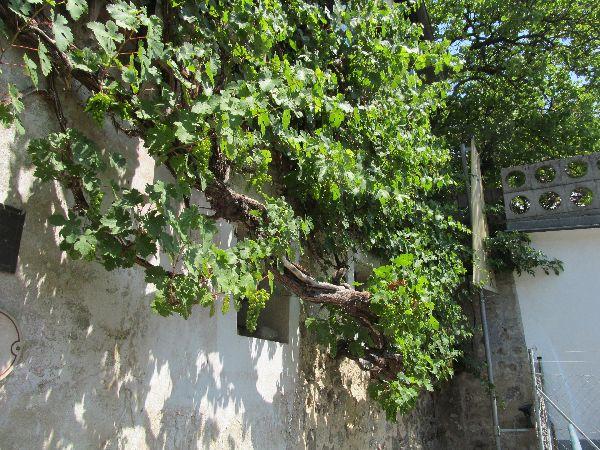 גפן בן 400 שנים