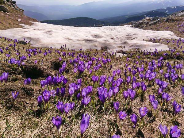 פריחה בהרי רילה,  בולגריה