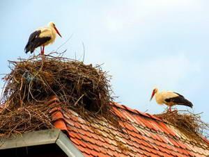 חסידות על גג בכפר צ'יגוץ