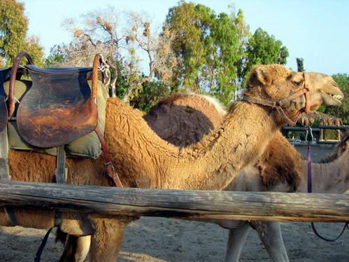 פארק הגמלים, קפריסין