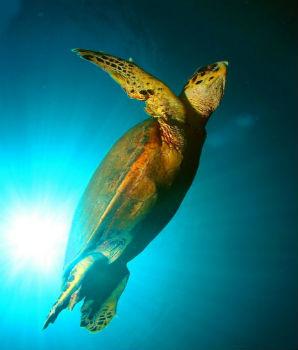 צבי ים בסיני